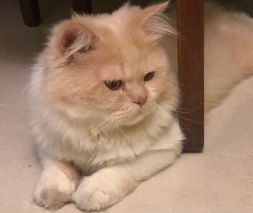 Persian cat in India