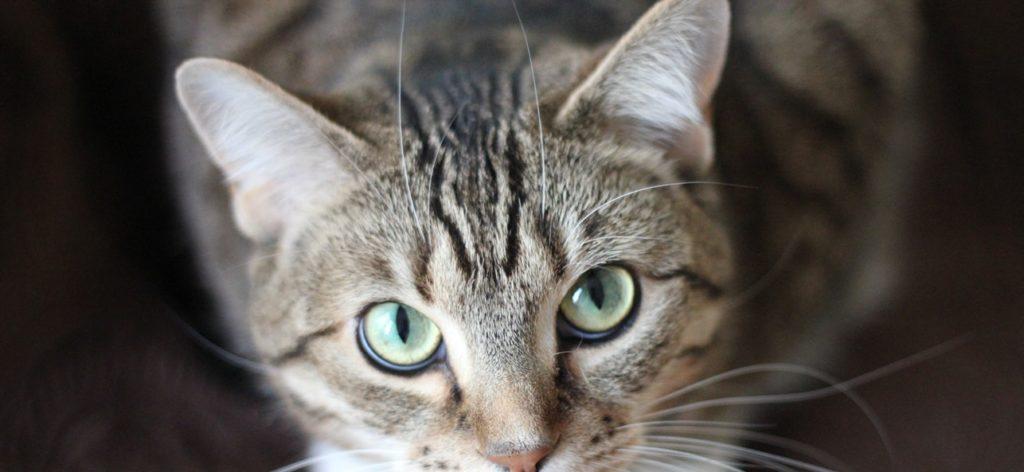 cat eyes staring at camera