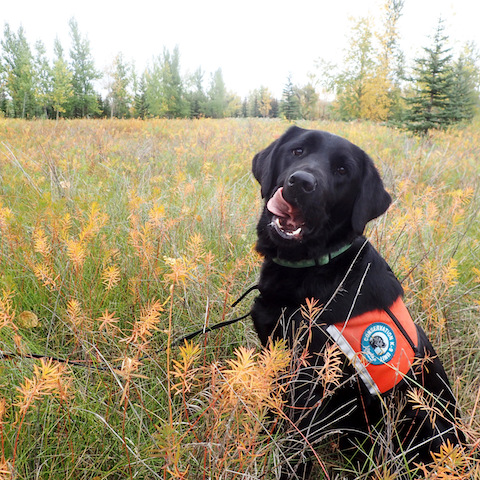 black Labrador working dogs