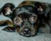black dog with big brown eyes