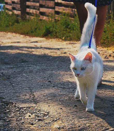 cat walking on leash< img>