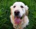 golden retriever dog happy sunny dog