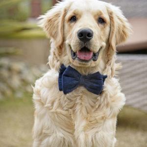 retriever posing with bow tie