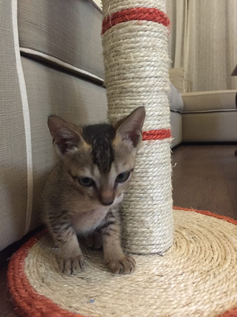 kitten with scratching post