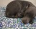 bully pup online Mumbai