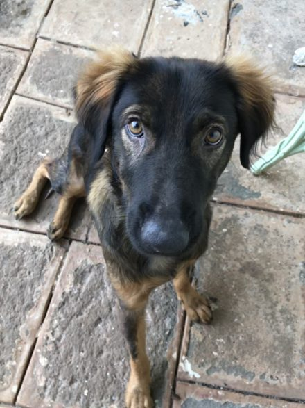 Hound Mix Dog In India