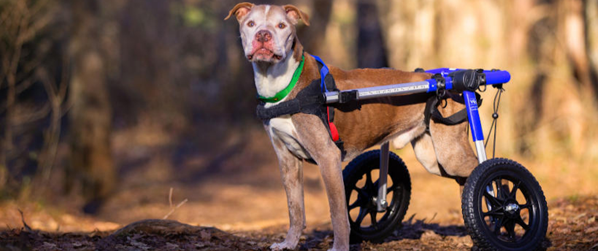 Senior dog in wheelchair