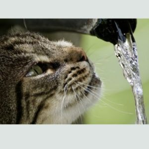 cat drinking water from a tap
