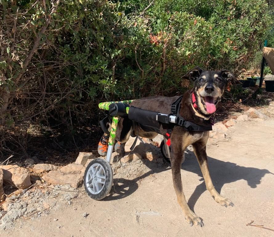 old dog in wheelchair