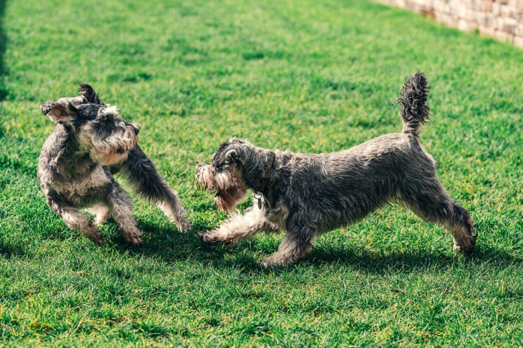 schnauzers playing