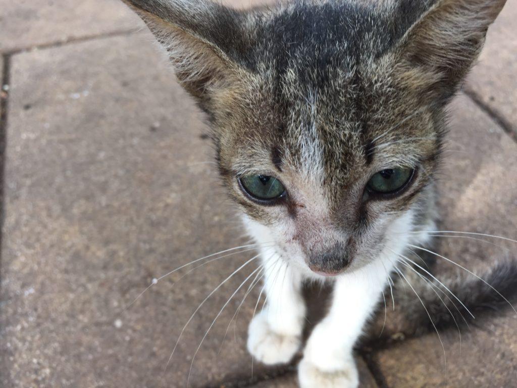 kitten with grey eyes