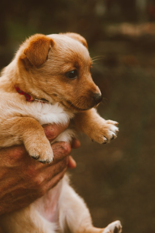 adorable brown puppy