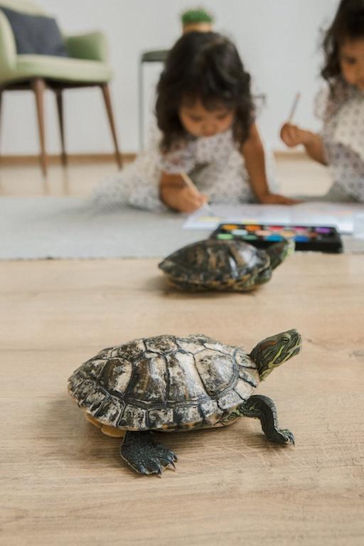 tortoise as pets
